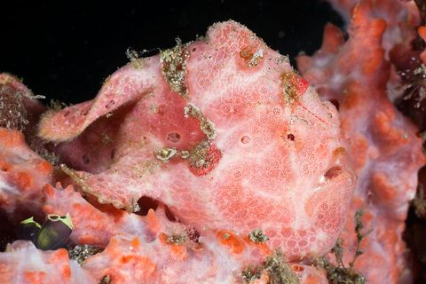 spotted frogfish, antennarius pictus, raja ampat, west papua, indonesia