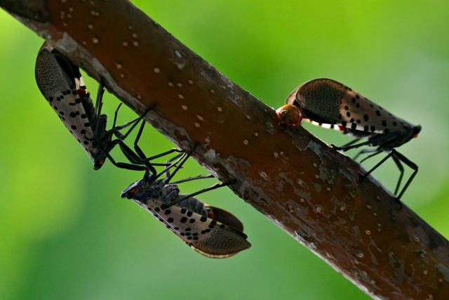 spotted lanternfly pest spreads in pennsylvania