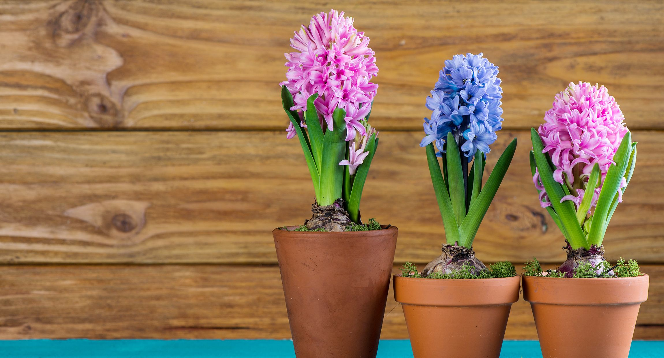 When To Plant Bulbs When To Plant Tulip Hyacinth Daffodil Bulbs
