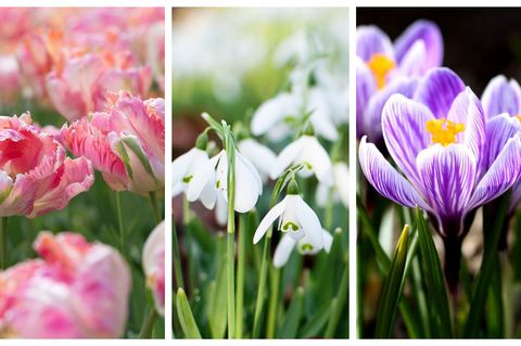 Planting spring bulbs best flower bulbs for garden guide tulip tulipa apricot parrot liliaceael snowdrops and crocuses spring bulbs mightylinksfo