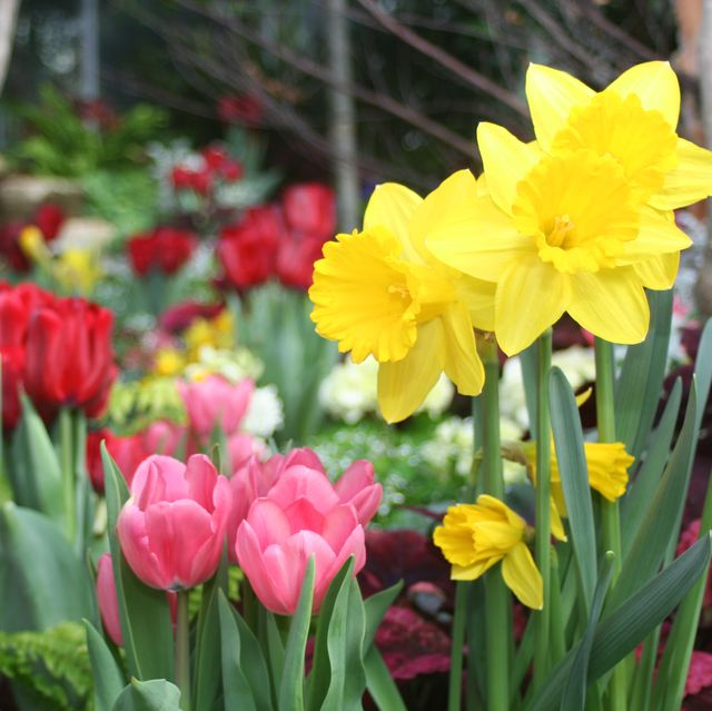 Image result for daffodil spring bulbs images no copyright
