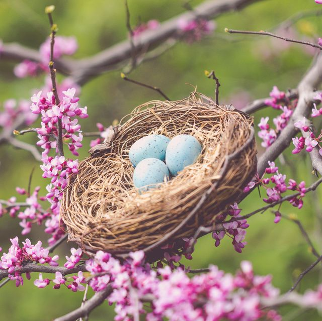 birds nest and redbud tree are signs of spring a matte effect has been added