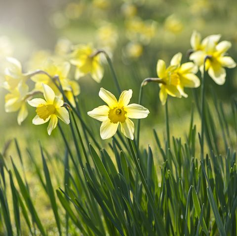 spring yellow daffodils   narcissus flowers backlit by hazy sunshine