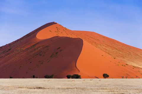 springbok passing in front of a red dune in sossusvlei