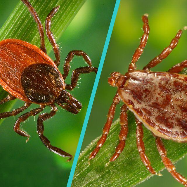 deer ticks vs wood ticks differences