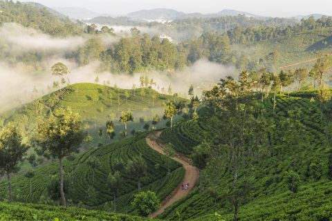 Sri Lanka, Southern Highlands, Hapatule, Morning mist over tea plantation