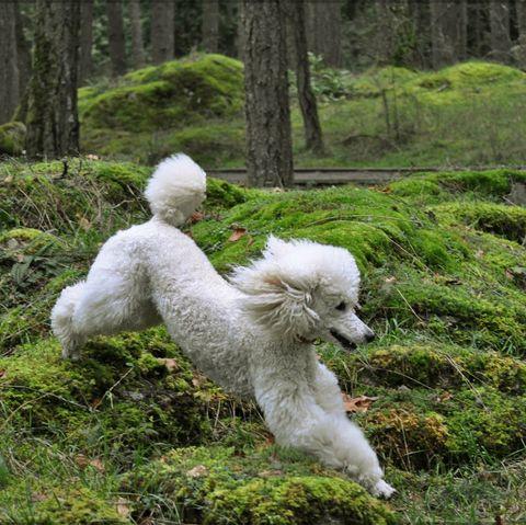 largedogbreedspoodle