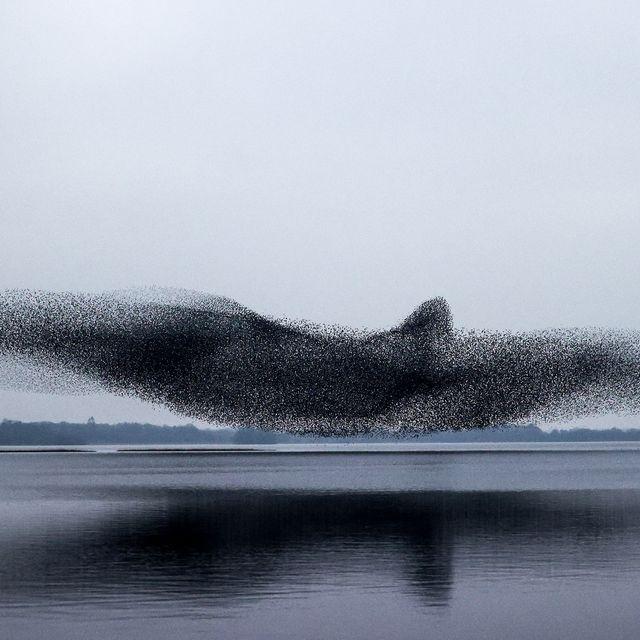 starling murmuration makes shape of bird over lake