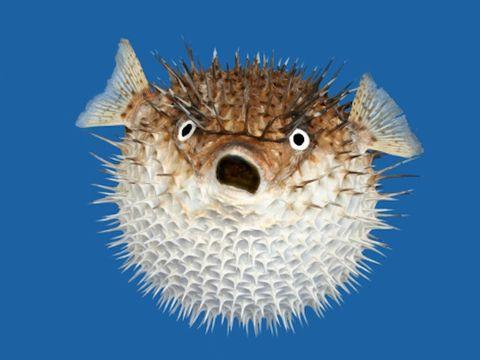 Blue, Porcupine fishes, Organism, Vertebrate, Fish, Blowfish, Azure, Electric blue, Close-up, Striped Burrfish,