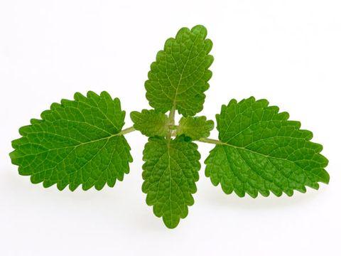 healing herbs: lemon balm