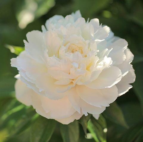 still life of peony blooming in the garden royalty free image 1574016386.jpg?crop=0.670xw:1.00xh;0 - 15 Melhores FLORES BRANCAS para o seu JARDIM