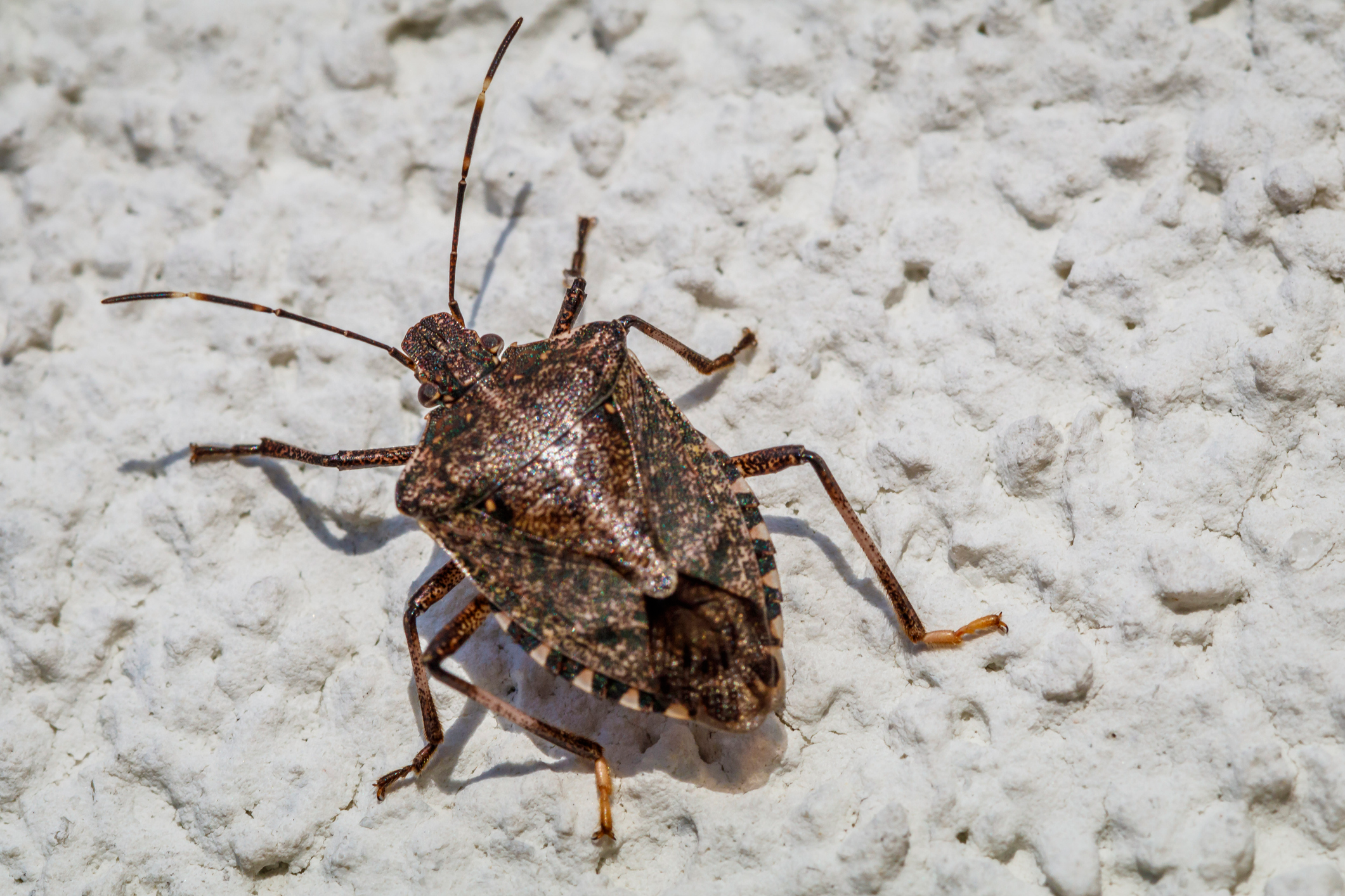 Do Stink Bugs Bite Or Harm Humans And