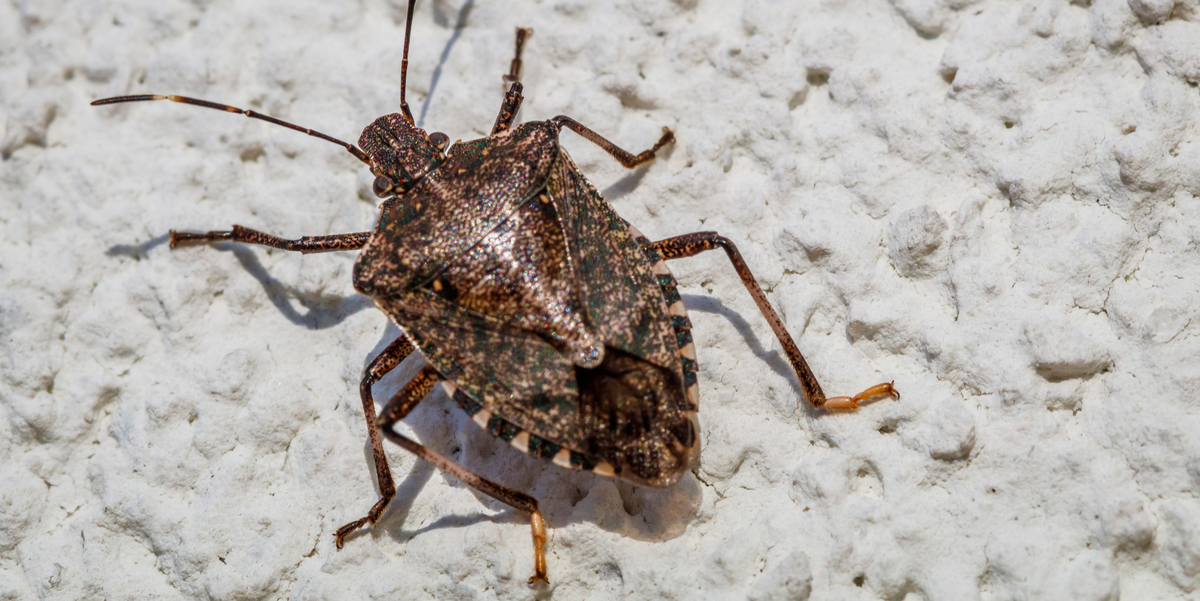 Stink Bugs Start Invading Homes in the Fall—Here's How to Keep Them Out