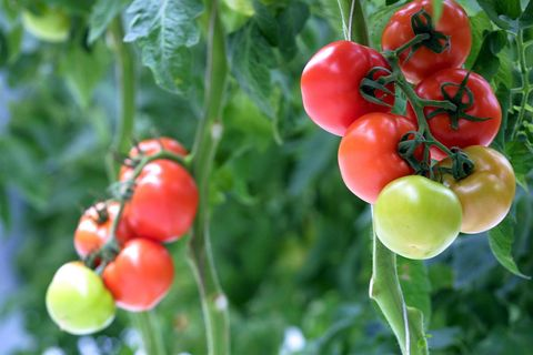 stock shot of tomatoes on the plant in a local hot
