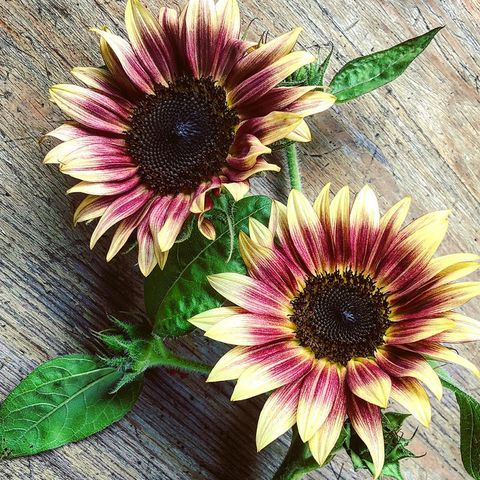 two strawberry blonde sunflowers with yellow, pink, and burgundy petals