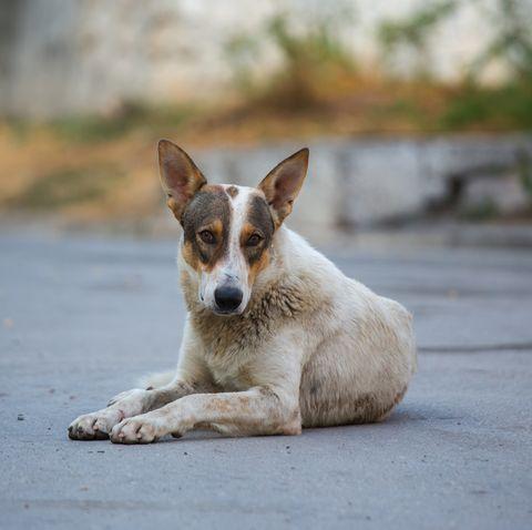 A stray mongrel dog on a city street