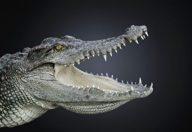 studio photograph of a nile crocodile crocodiles niloticus