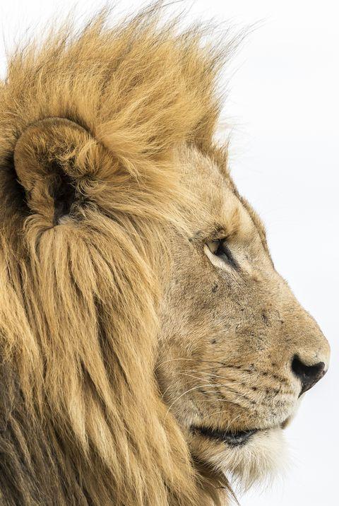Studio portrait of lion