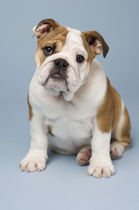 Studio shot of a Bulldog puppy sitting with a blue background.