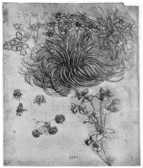 study of a 'star of bethlehem' plant, 1505 1507 1954 artist leonardo da vinci