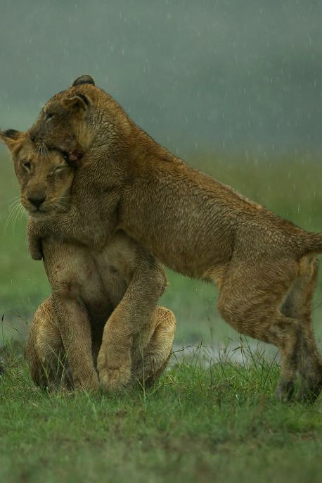 Incredible Images Show Lion Family Play Fighting And Feeding In The Maasai Rain
