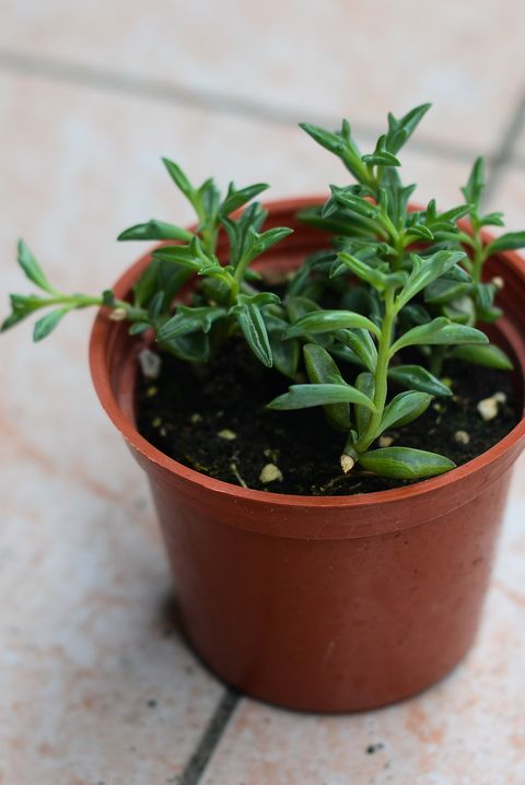 succulent plants Potted plants, gardening,Senecio peregrinus