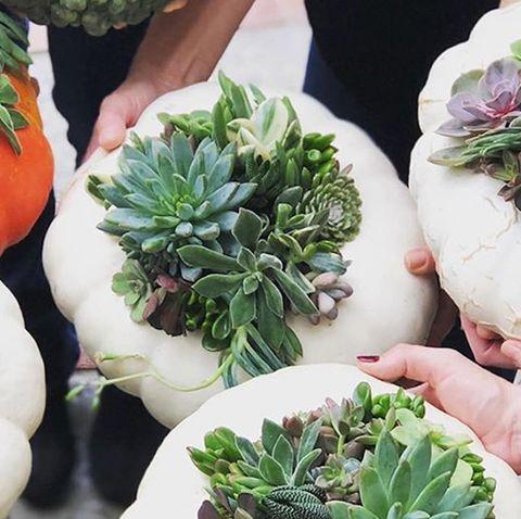 plant, flower, houseplant, echeveria, vegetable, herb, food, leaf vegetable, produce, flowerpot,
