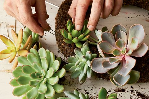 making a succulent wreath