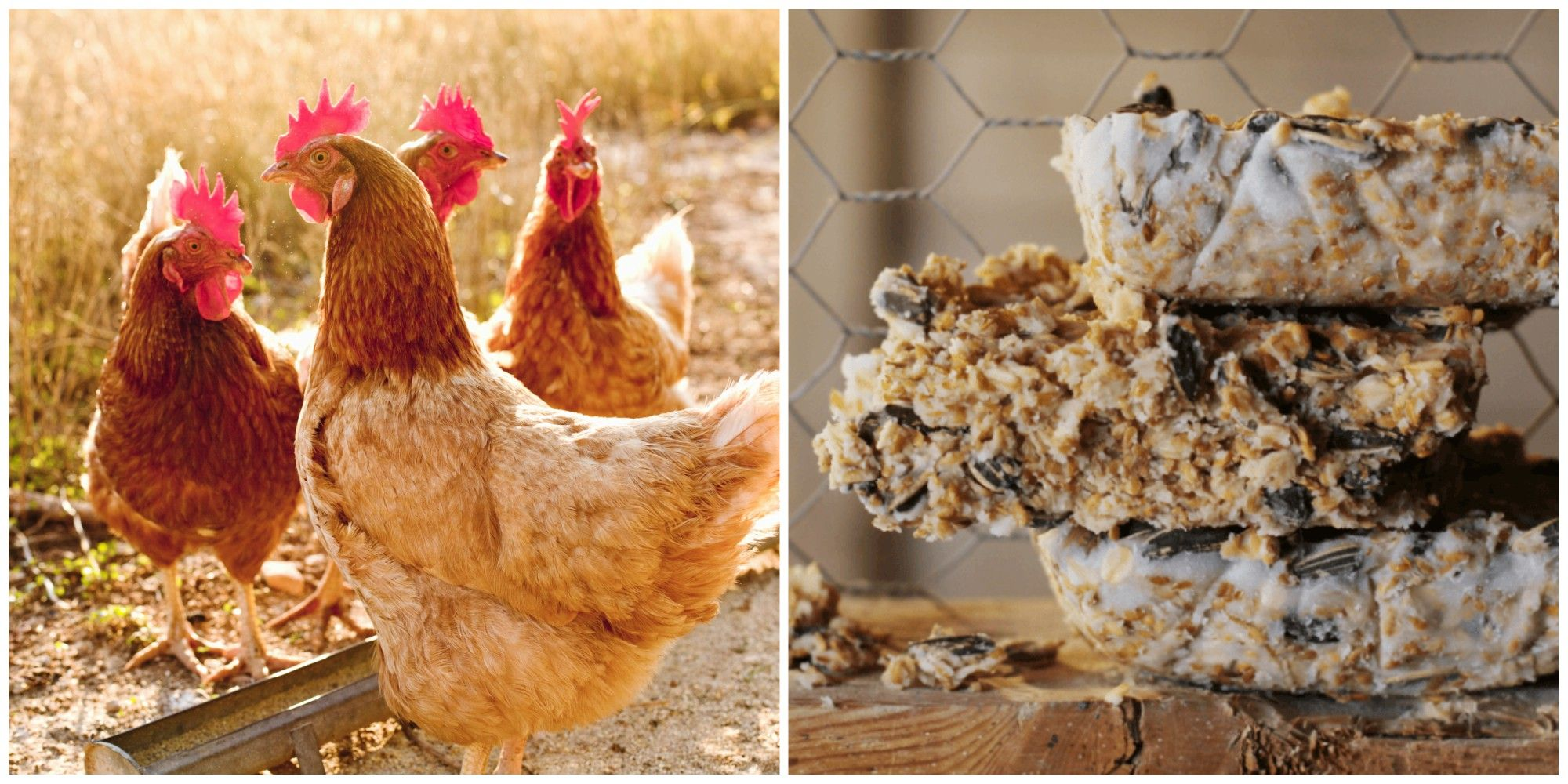 suet cakes for chickens
