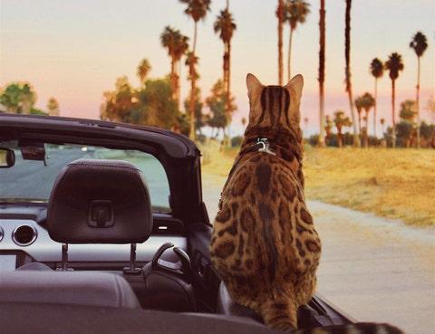 Cat, Felidae, Small to medium-sized cats, Wildlife, Sky, Car, Tree, Vehicle, Carnivore, Windshield,