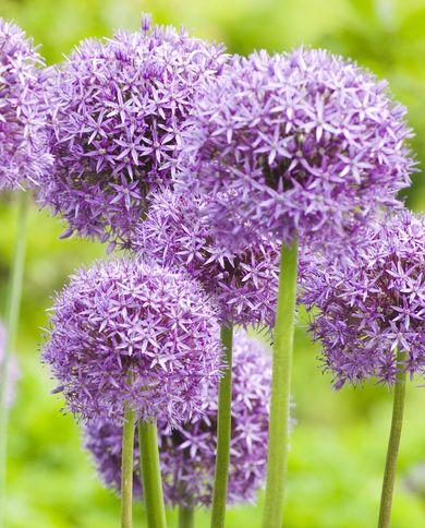Allium 'Globemaster' ornamental onion