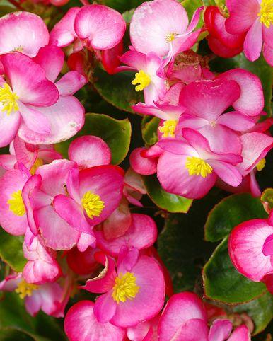 Pink Ice begonia