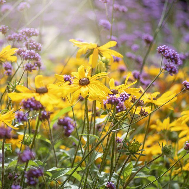 beautiful summer, perennial rudbeckia hirta yellow flowers also known as coneflower or black eyed susan with verbena bonariensis   purpletop vervain flowers