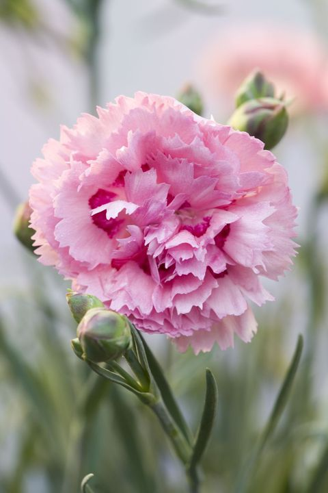 Flower Meanings - Carnation