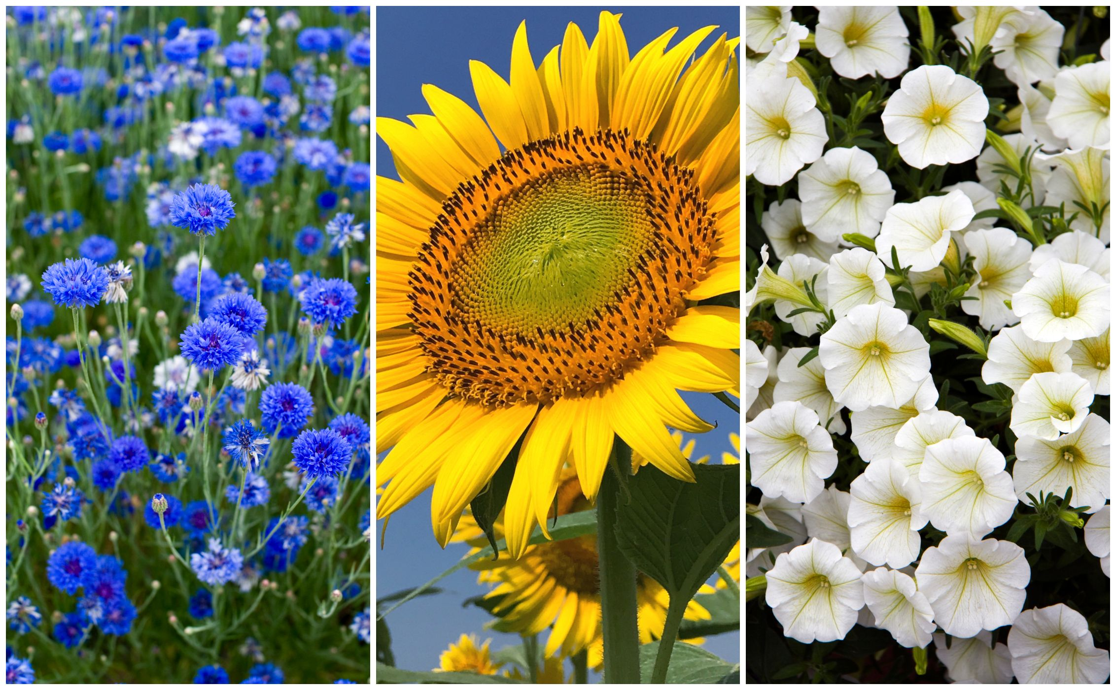 7 Fastest Growing Flower Seeds For A Summer Garden Garden Plants