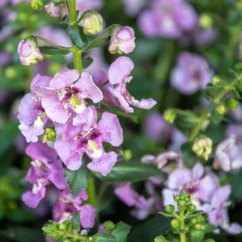 summer flowers angelonia alonia or pink flirt flower