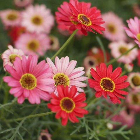 summer flowers gerbera daisies