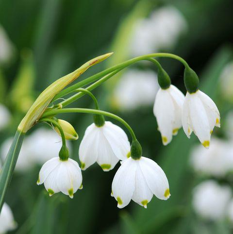 Summer snowflake flowers - Leucojum aestivum