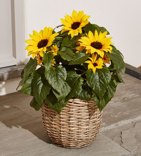 Summer Sunflower Patio Basket, Marks & Spencer
