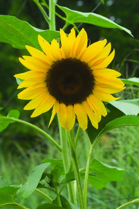 sunflower del sol paul bunyan