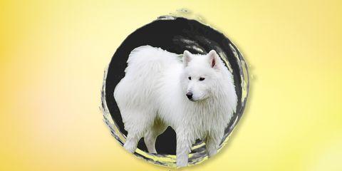 Mammal, Vertebrate, Dog, Canidae, Samoyed, Dog breed, Carnivore, American eskimo dog, Japanese spitz, Spitz,