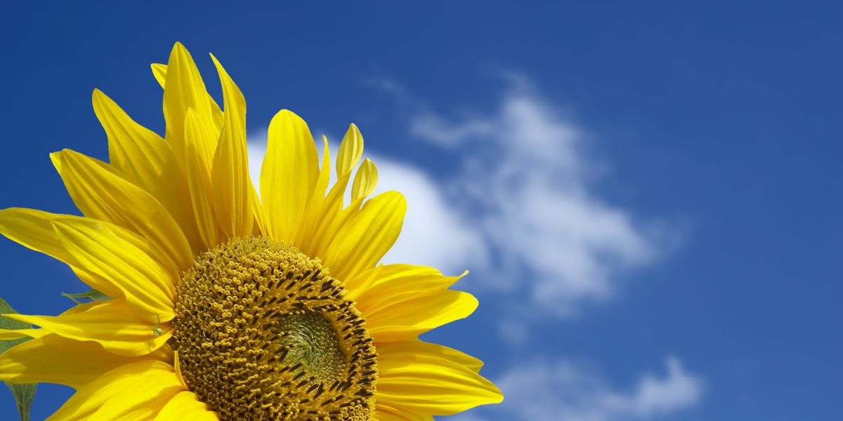 How to Grow Sunflowers and Add a Dose of Cheer to Your Yard