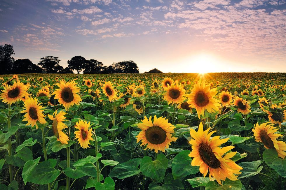 The Age-Old Sunflower Conjecture May Soon Be Solved