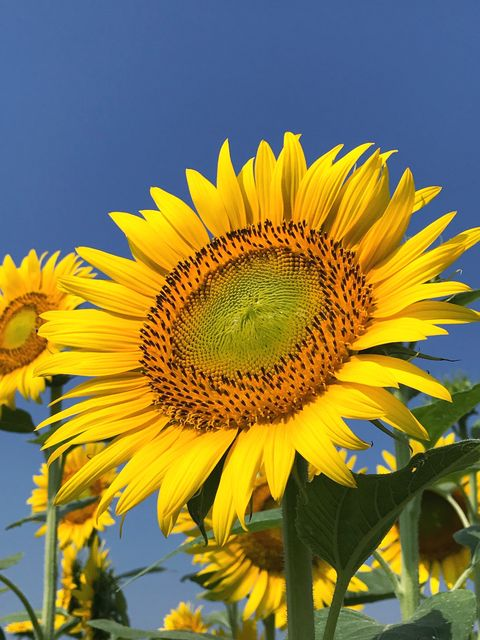 Sunflower blooming against clear sky