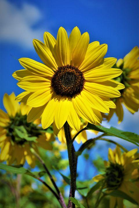 Sunflower Captions Funny Cool Attitude Captions