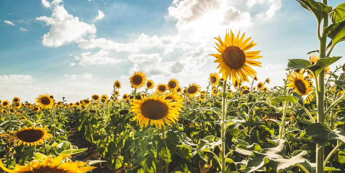 5 Beautiful Sunflower Fields In The UK To visit This Summer