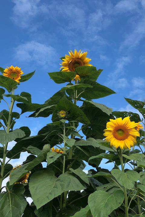 sunflower fields near me