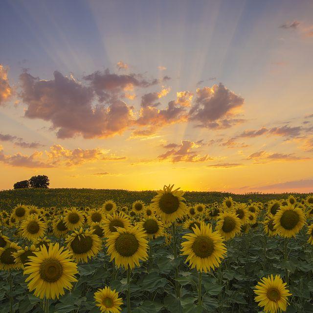 sunflower field in briviesca, burgos