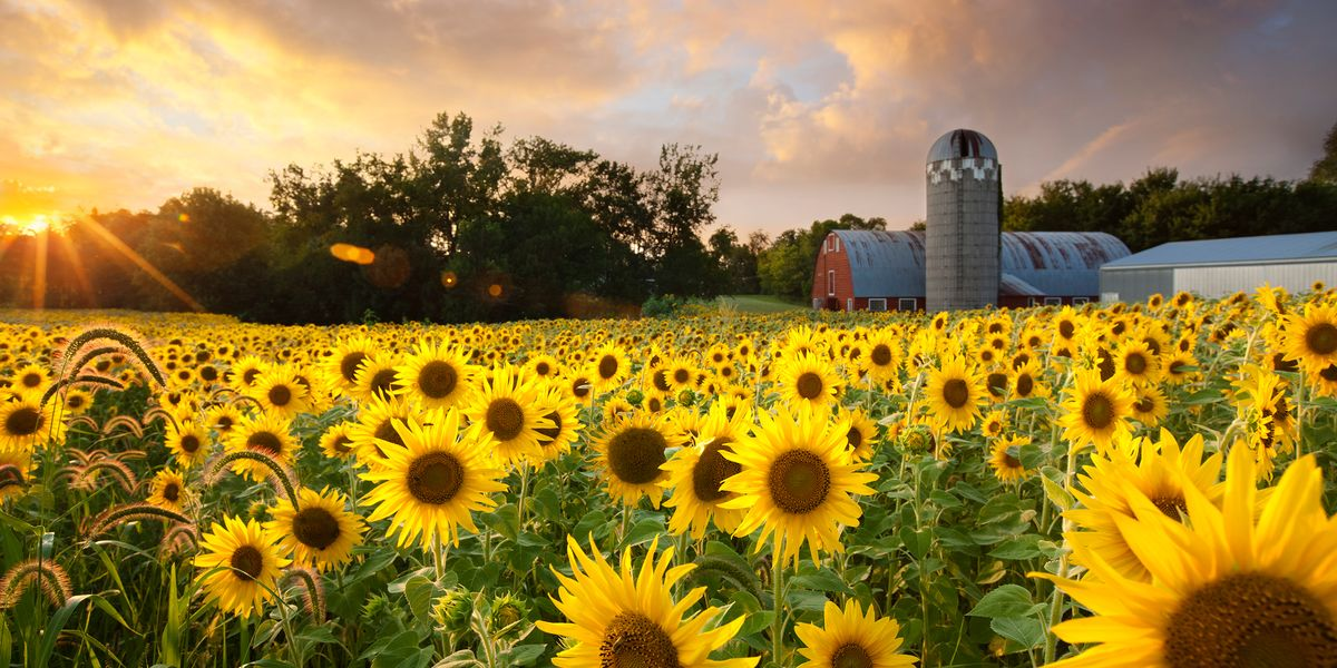 25 best sunflower fields near me top sunflower fields mazes in the u s