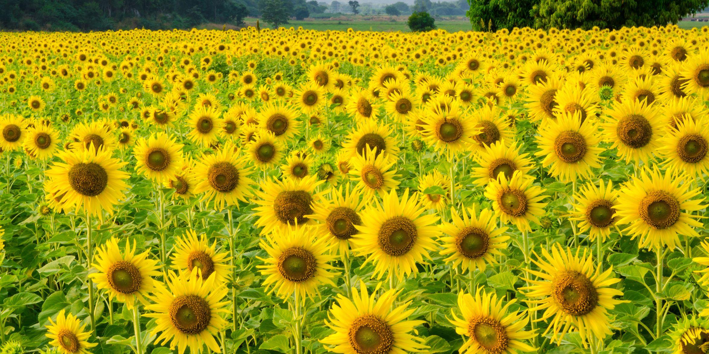 sunflower field near me anderson sunflower farm georgia